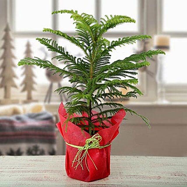 My Christmas Plant: Send Shrubs