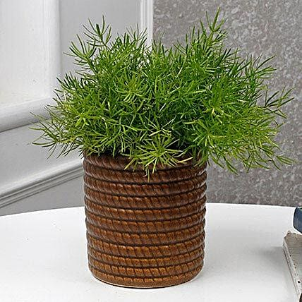 Nourishing Asparagus Plant: Office Desk Plants