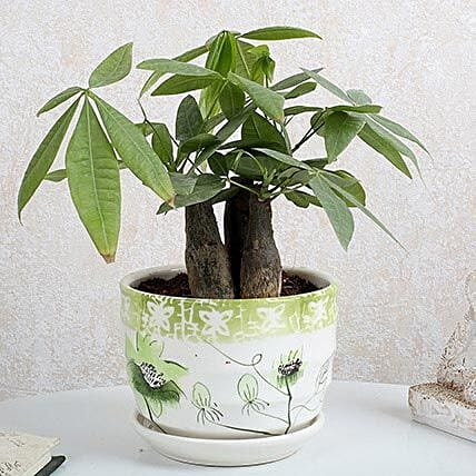 Pachira 3 in 1 Bonsai Plant: Valentines Day Premium Gifts