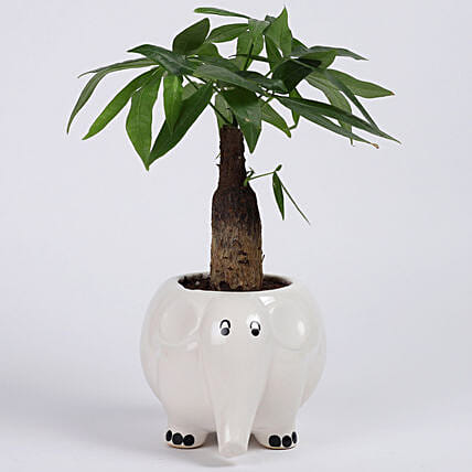 Pachira Bonsai in Elephant Ceramic Pot: Good Luck Plants - Friendship Day