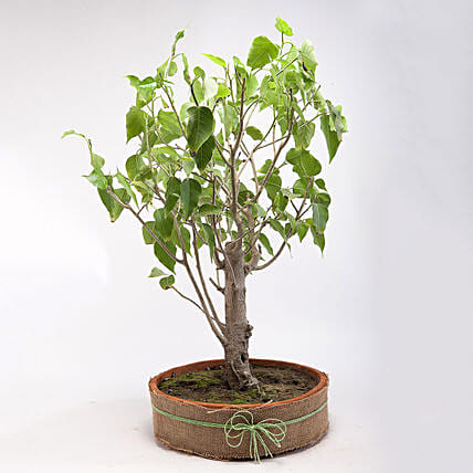 Paras Peepal Bonsai Plant in Terracotta Circular Tray: Tropical Plants