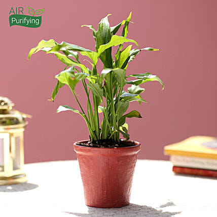 Peace Lily In Red Ceramic Pot: Flowering Plants