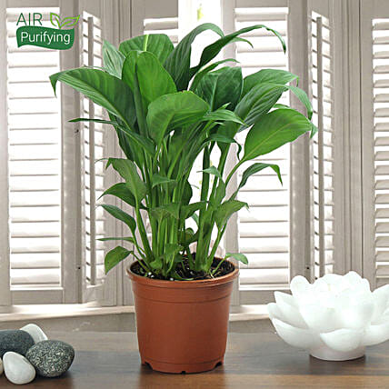 Peace Lily Plant: Ornamental Plant Gifts