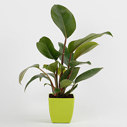 Philodendron Red Plant in Imported Plastic Pot: Spiritual and Vastu Plants