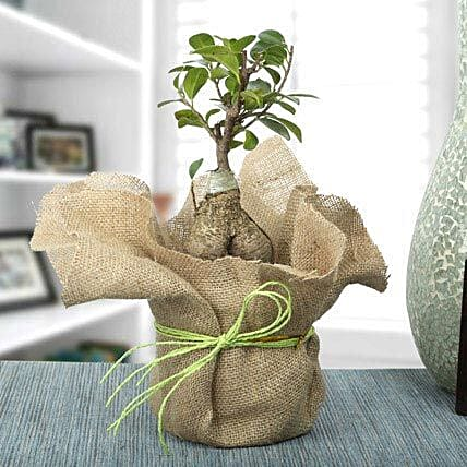 Picturesque Ficus Ginseng Bonsai Plant: Hug Day Gifts