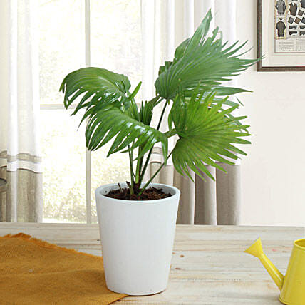 Potted China Palm Plant: Ornamental Plants