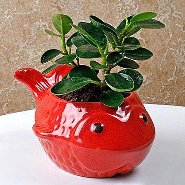 Ravishing Ficus Compacta Plant: Air Purifying Plants