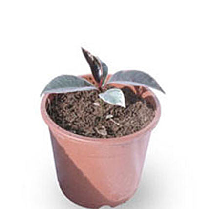 Rubber plant: Ornamental Plant Gifts