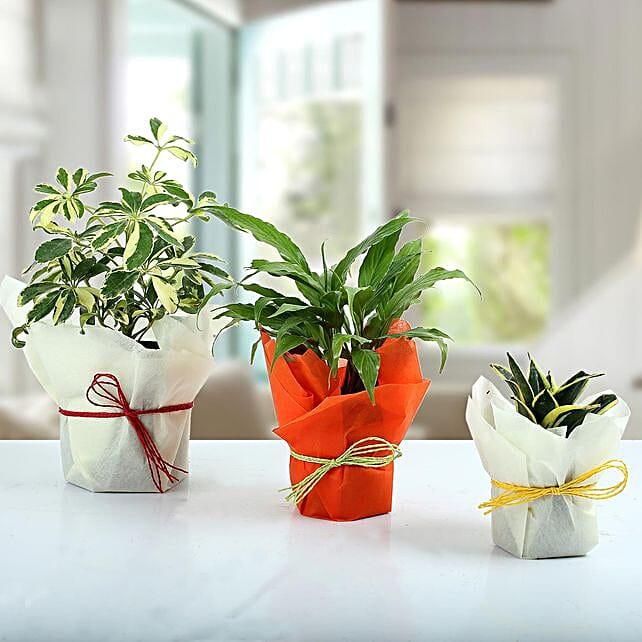Set of 3 Evergreen Plants: Flowering Plants