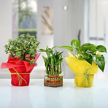 Set of 3 Good Luck Plants: Premium Plants