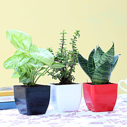 Set Of 3 Green Foliage Plants: Air Purifying Plants