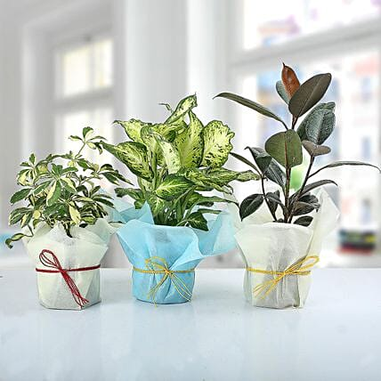 Set of 3 Lush Plants: Air Purifying Plants