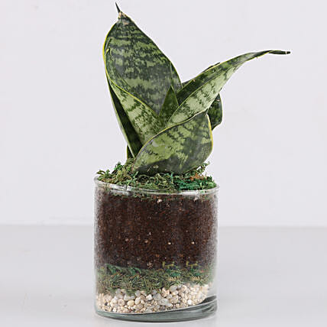 "Snake Plant 3"" Glass Terrarium: Ornamental Plant Gifts"