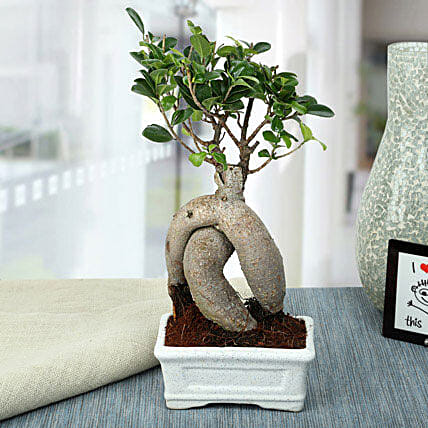 Splendid Ficus Ginseng Bonsai Plant: Exotic Plants