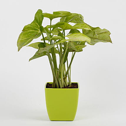 Syngonium Green Plant in Imported Plastic Pot: Best Outdoor Plant