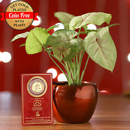 Syngonium Plant Brass Pot & Free Gold Plated Coin: Money Plant