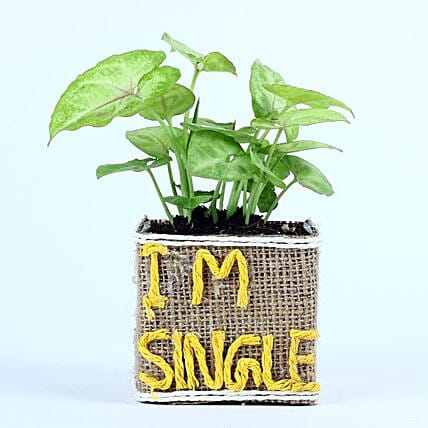 Syngonium Plant For Singles Day: Singles Day Gifts