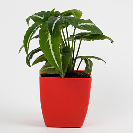 Syngonium Wedlendi Plant in Imported Plastic Red Pot: Succulents and Cactus Plants