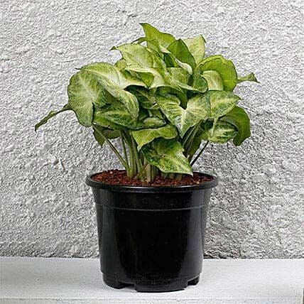 Syngonium White Plant In Black Pot: Feng Shui Gifts
