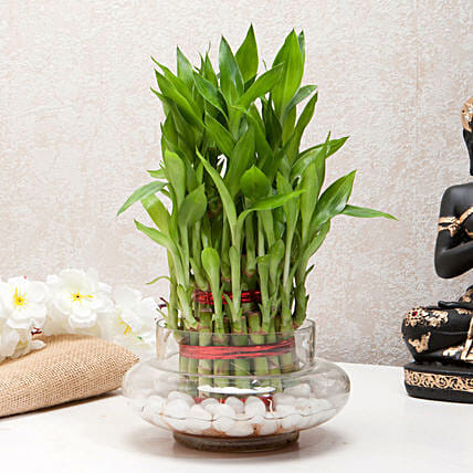 Three Layer Bamboo Good Luck Terrarium: Lucky Bamboo Plants
