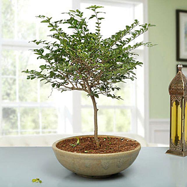Traditional Elaichi Nimbu Bonsai Plant: Rare Plants