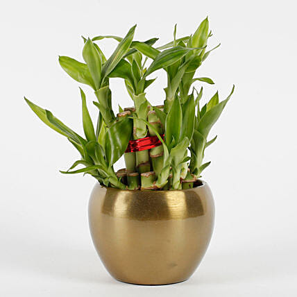 Two Layer Bamboo Plant in Copper Orchid Metal Pot: Spiritual and Vastu Plants
