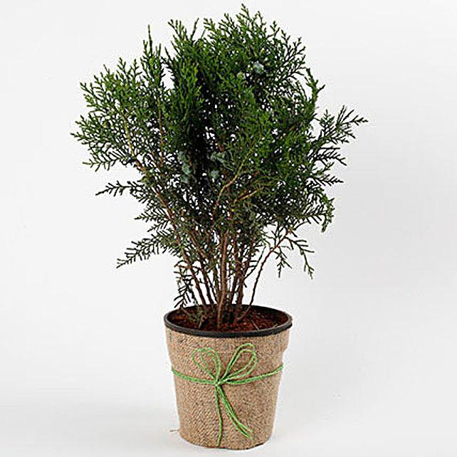 Unique Mor Pankh Dwarf Plant: