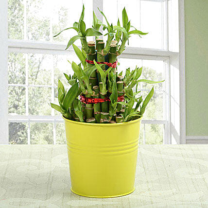 3 layer lucky bamboo Plant: Send Lucky Bamboo to Bengaluru