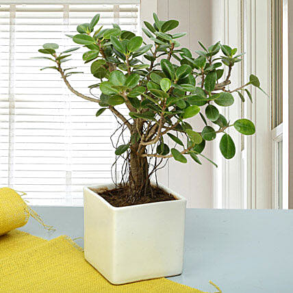 Attractive Ficus Iceland Bonsai Plant: Thank You Gifts