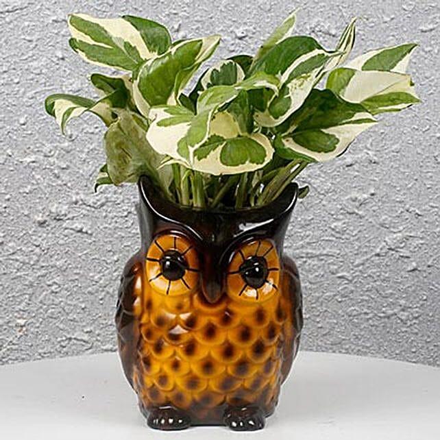 Decorative Owl White Pothos Plant: Desktop Plants