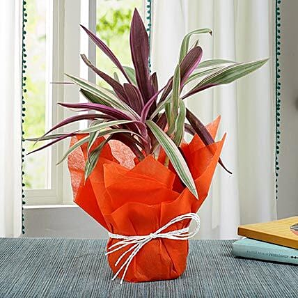 Elegantly Potted Roheo Plant: Cactus and Succulents Plants
