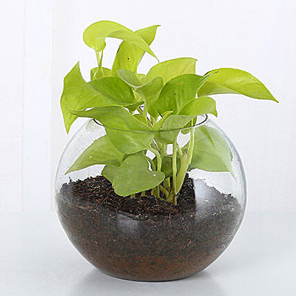 Money Plant Terrarium: Anniversary Gifts for Parents