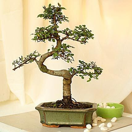 Thoughtful Elm S Shape Bonsai Plant: Send Gifts to Bharuch