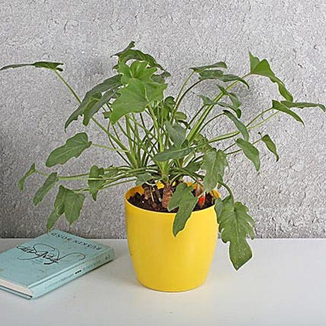 Xanadu Philodendron Plant: Office Desk Plants
