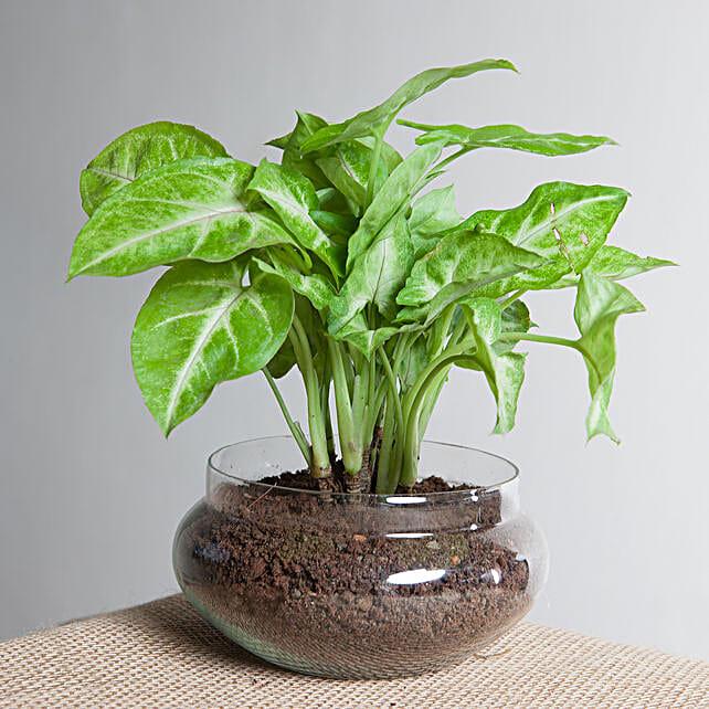 Classic Syngonium Golden Plant Terrarium: Terrariums Plants