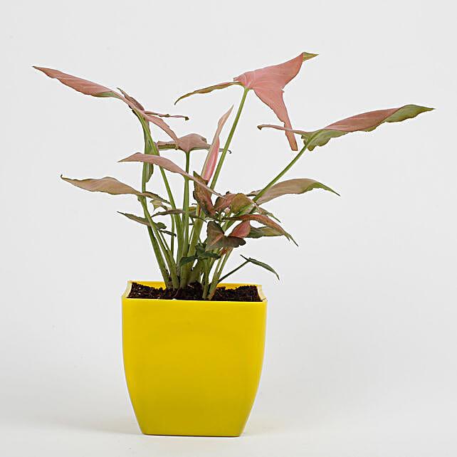Syngonium Pink Plant in Imported Plastic Pot: Spiritual and Vastu Plants