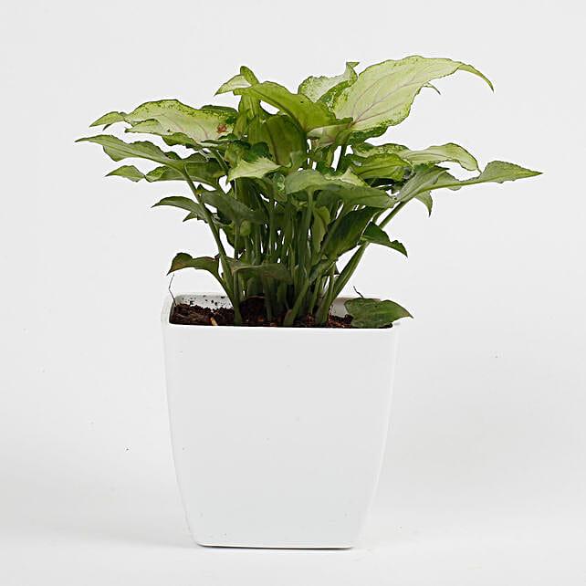 Syngonium White Plant in Imported Plastic Pot: Desktop Plants