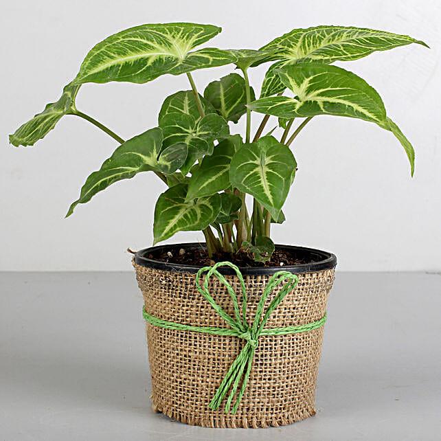 Syngonium Plant in Black Plastic Pot: Send Plants for Birthday