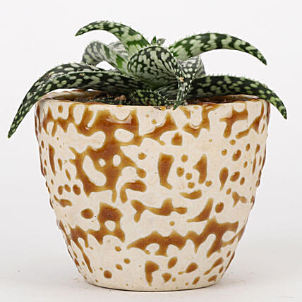 Aloe Snowflake Plant In Brown Ceramic Pot: Plants Offers