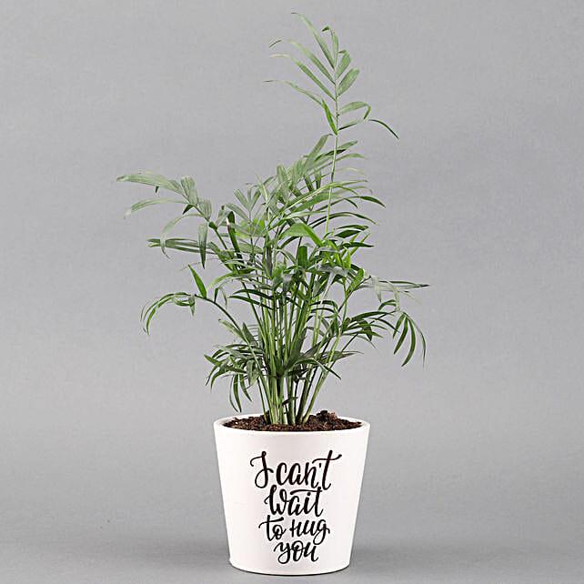 Chamaedorea Plant In White Ceramic Pot: