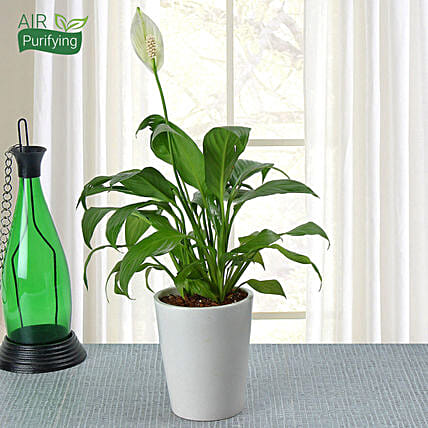 Potted Peace Lily Plant: