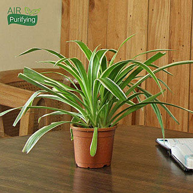 Spider Plant: