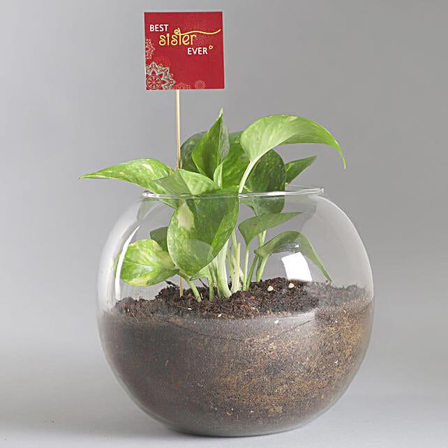 Best Sister Money Plant Terrarium: Money Tree