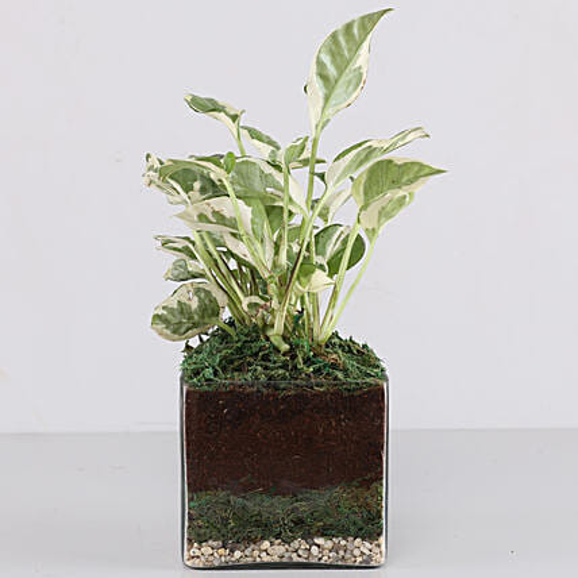 """Scindapsus N'Joy Plant 4"""" Glass Terrarium:"""