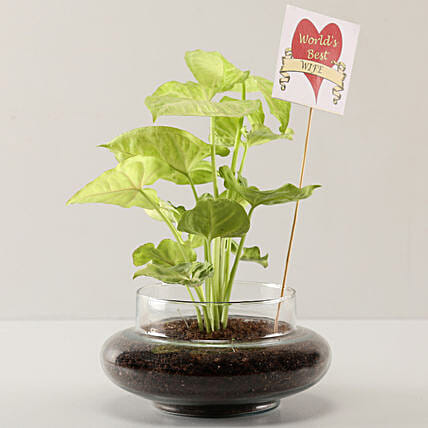 Syngonium Plant For Best Wife: Plants for Wife