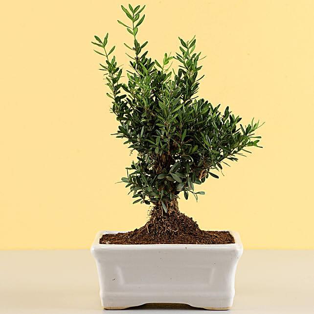 Lively Boxwood Bonsai Plant: