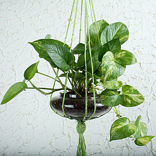 Thriving Money Plant Terrarium: Hanging Plants