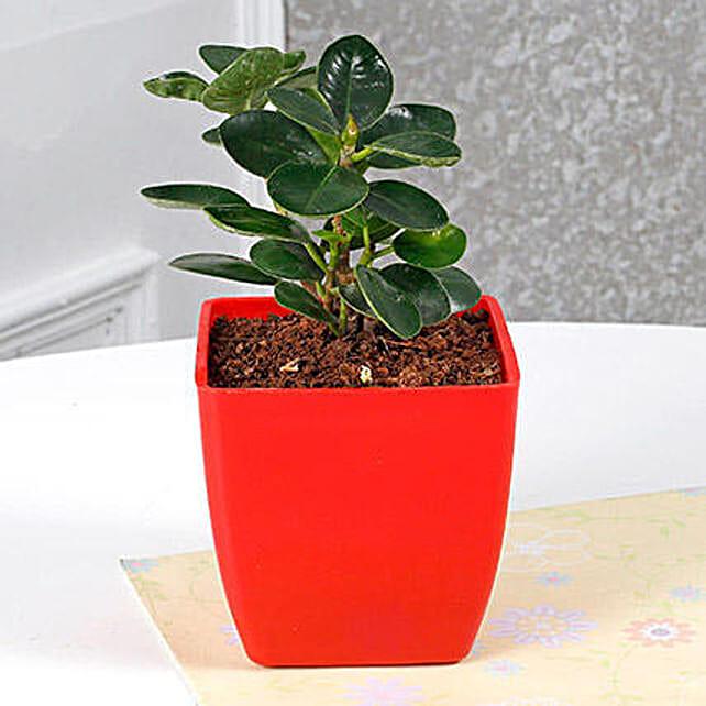Gorgeous Ficus Compacta Plant: