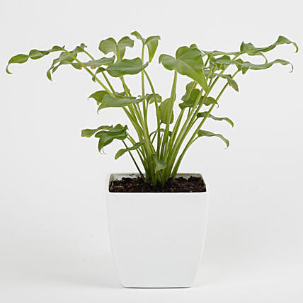 Xanadu Philodendron Green Plant in Imported Plastic Pot: