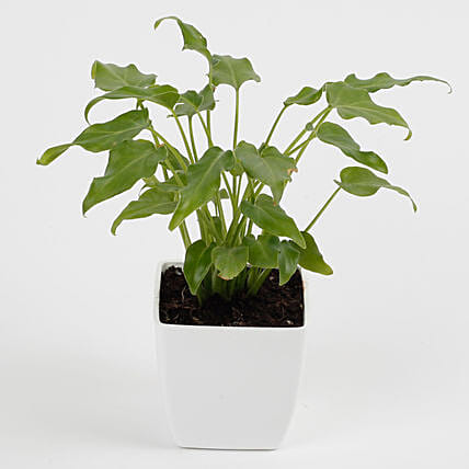 Xanadu Philodendron Plant in Imported Plastic Pot: